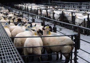Sheep on Death Row