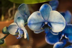 Blue Orchids at Vons
